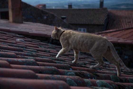 O passeio de um gato sobre os telhados da vila...