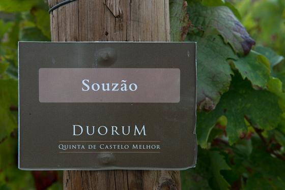 Originárias do Minho, a casta foi introduzida no Douro há 300 anos