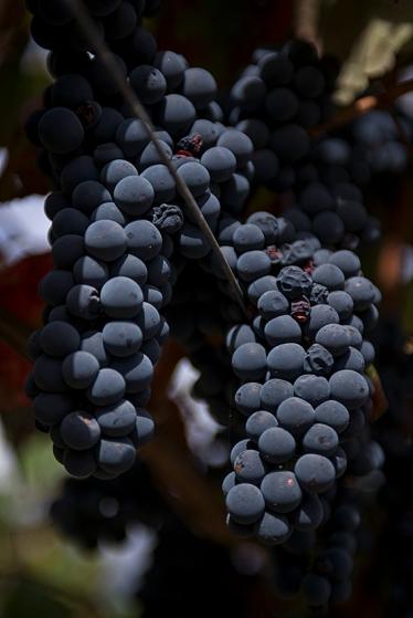 A cor da Souzão é intensa: mais tinta das uvas portuguesas