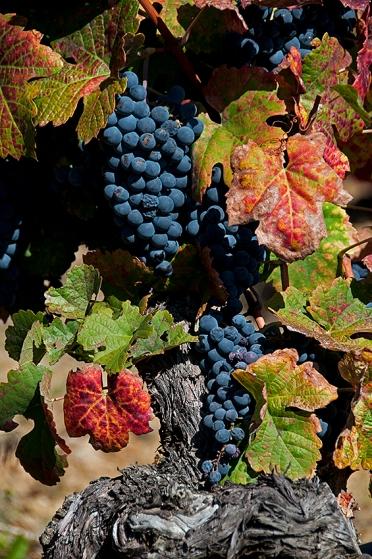 Uvas da Quinta de Vargellas (Taylor´s), em São João da Pesqueira