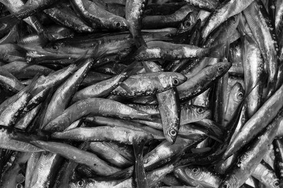 Sardinhas: elas estão sumindo misteriosamente das água portuguesas