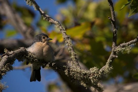 Uma simpática fêmea de tentilhão, espécie endêmica da Madeira