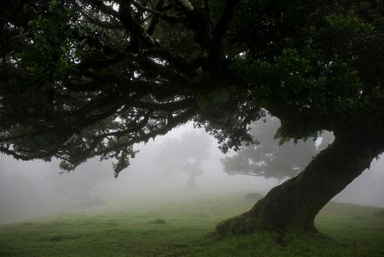Floresta Laurissilva na região do Fanal