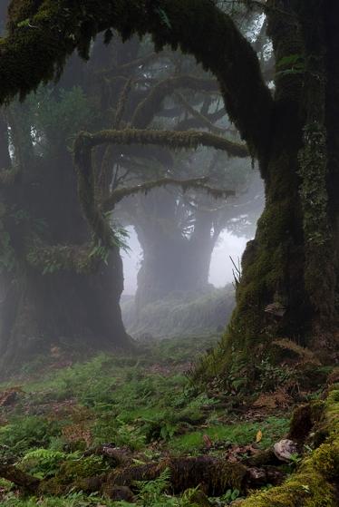 Floresta Laurissilva, cujo nome vem das árvores conhecidas como lauráceas, típicas desse bioma